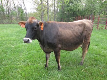 Floppy the cow