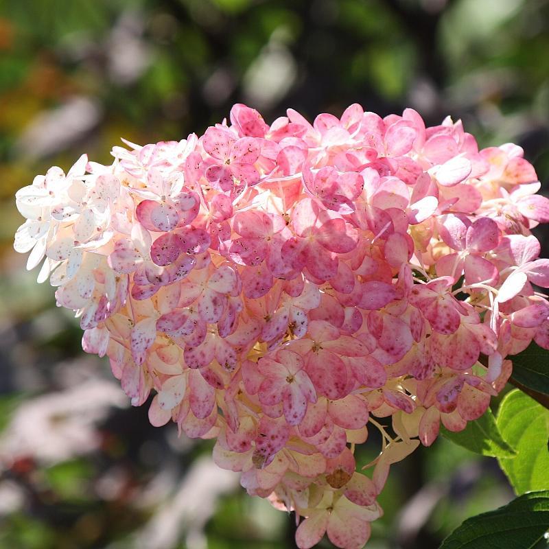 vanilla strawberry hydrangea paniculata - Vanilla Strawberry Hydrangea