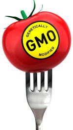 GMO tomato on fork