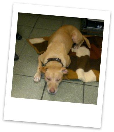 Robbie - 8 yr old Staffie/Lab for Adoption