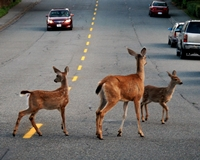 Deer in Road