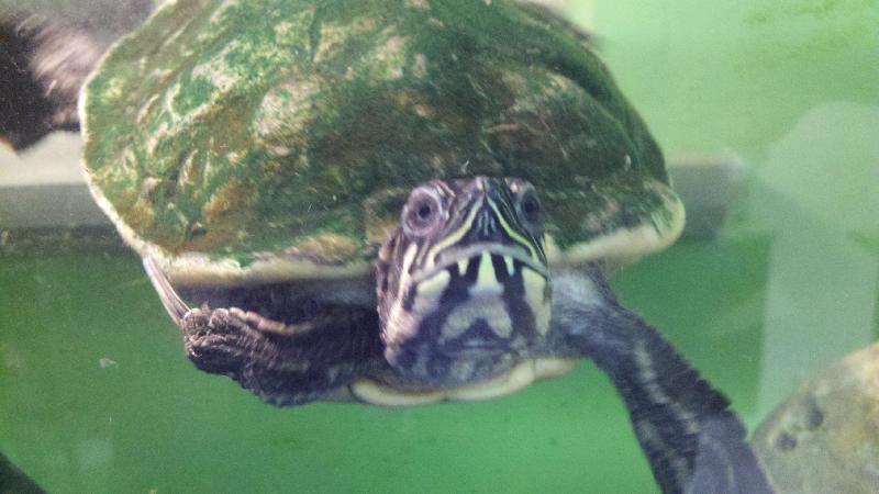 JKC Turtle
