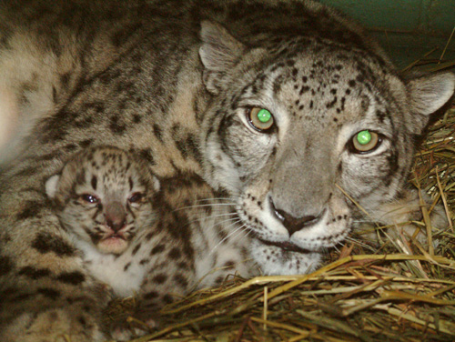 Snow Leopard Cub and Mother