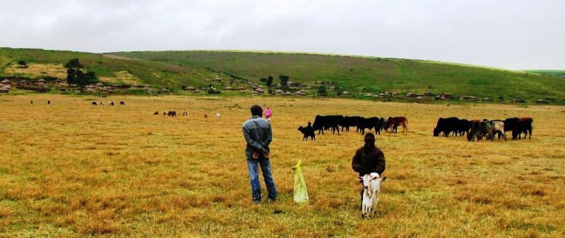 Maasai grazing cattle