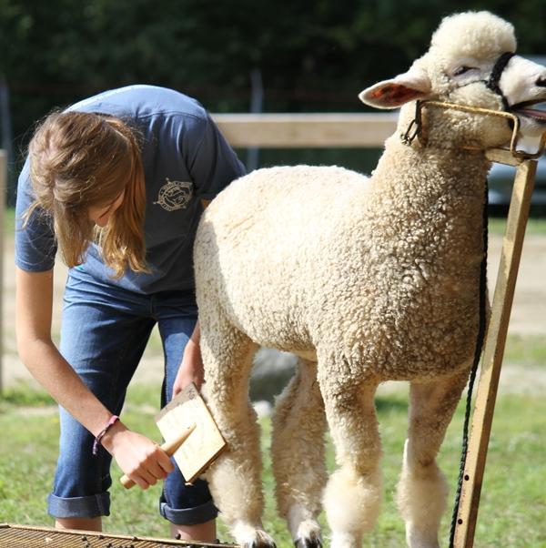 4-H sheep