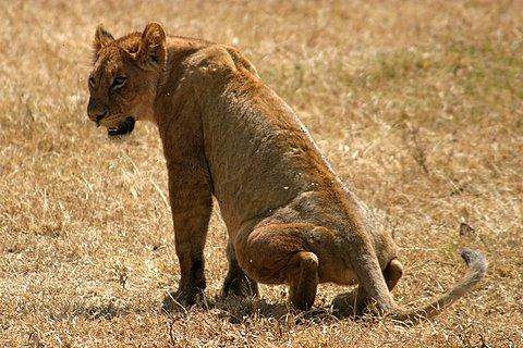lion peeing