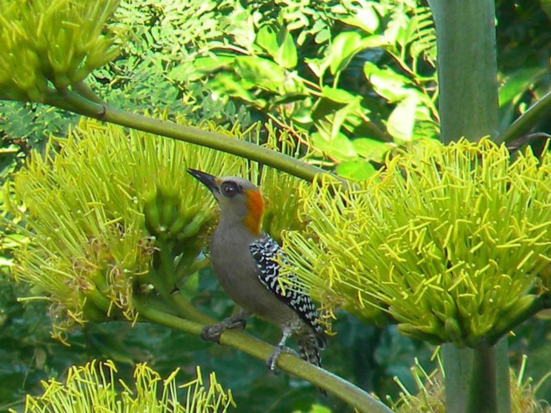 Golden-cheeked Woodpecker (Melanerpes Chrysogenys)