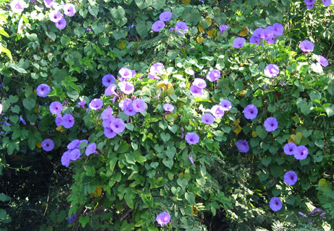 morning glory - ipomoea violacea