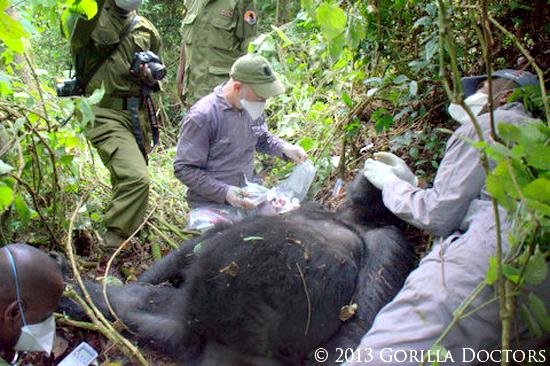 an analysis of gorillas Occurrence and molecular analysis of balantidium coli in mountain gorilla ( gorilla beringei beringei) in the volcanoes national park, rwanda.