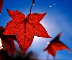 Maple Leaf sky