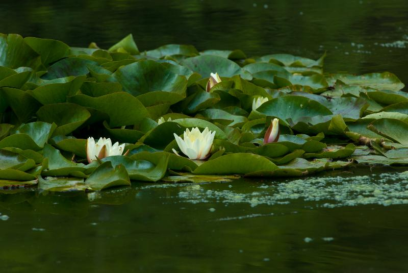 Pond Lillies at Fota House - February 2012