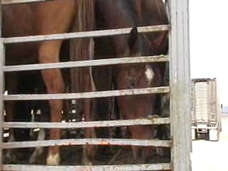 horse with head down on open deck trailer