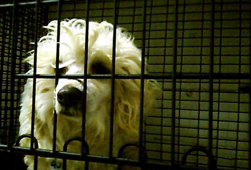 Poodle in cage