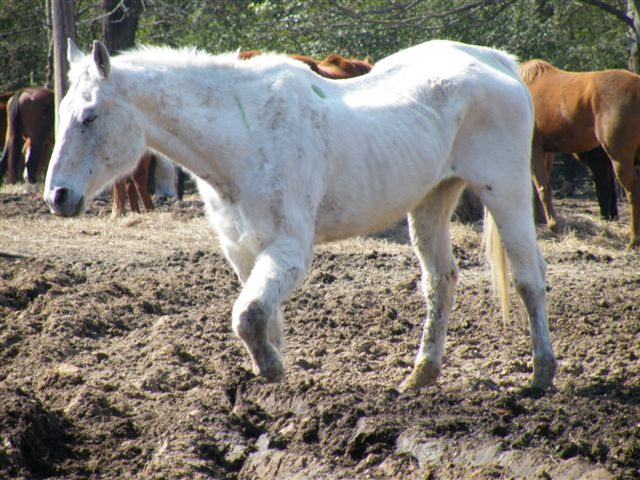 white horse with swollen knee