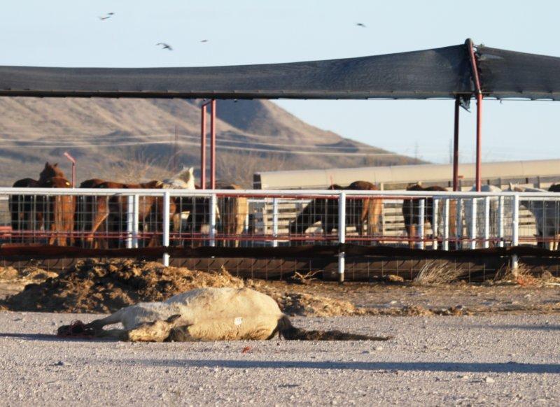 Dead horse at Presidio pens