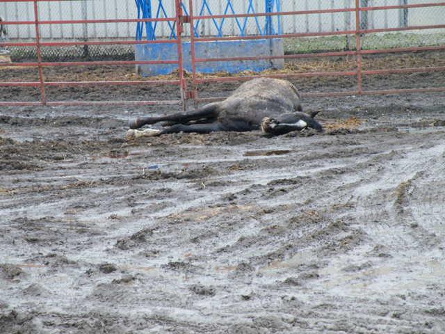 dead horse in parking lot