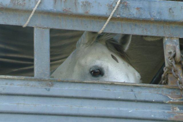Grey mare inside trailer