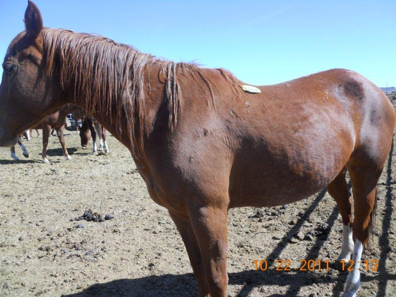 Horse at Southwest Auction with slaughter tag