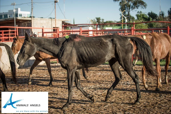 Emaciated US horse