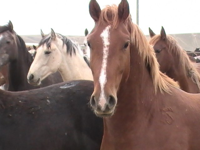young horses at Shelby