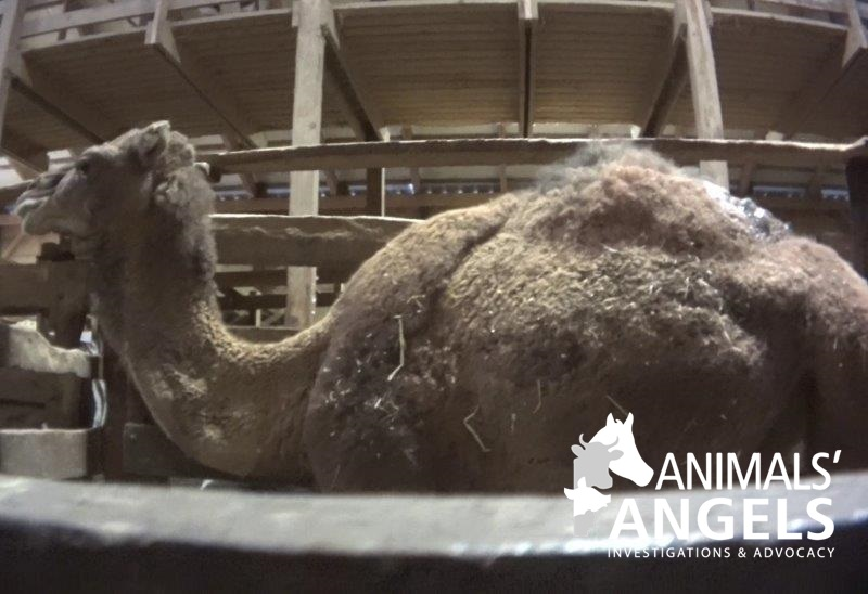 Auctions In Ohio >> camel at Mt. Hope auction