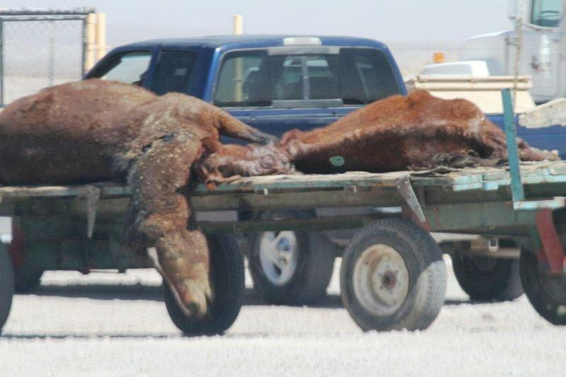 Dead horses at landfill