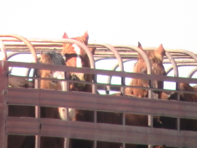 Horses on open roof trailer