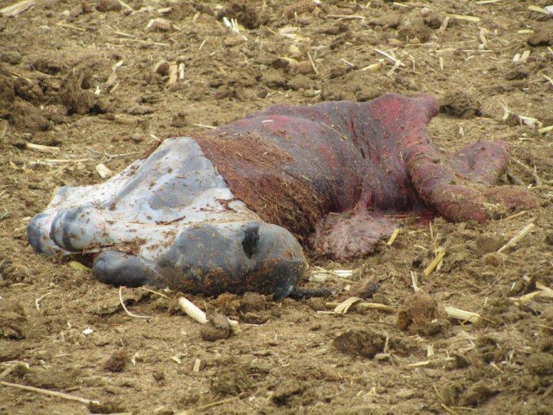 Aborted Foal