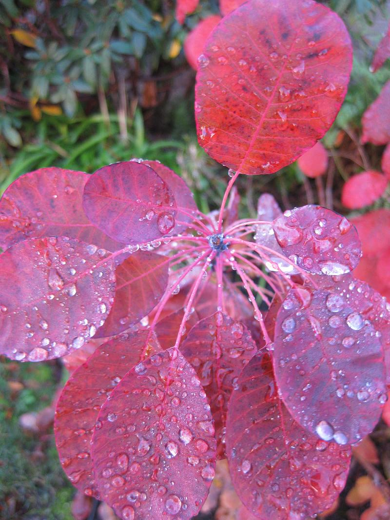 Rain Drops on Red Leaves