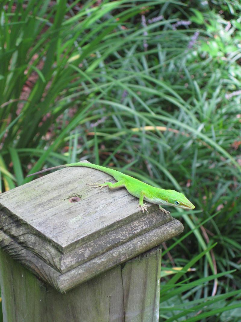 Lafayette lizard