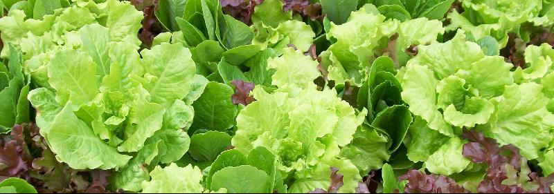 Living Salad Bowl Banner
