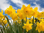 Blithwold Daffodil Days
