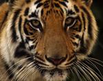Tiger Tiger Movie
