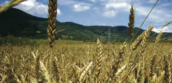 A field of wheat with hills in the background.