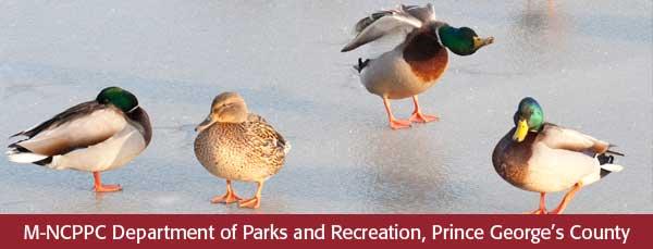 ducks masthead