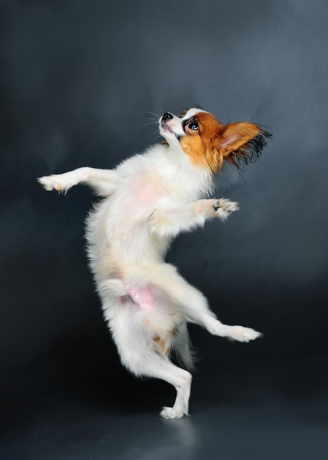 pappion puppy dancing against dark background studio shot