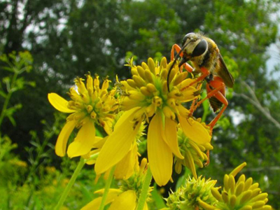Great golden digger wasp on wingstem