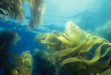 horizontal kelp forest