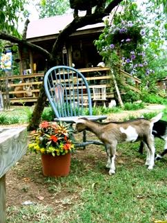 Split Creek Farm Goat