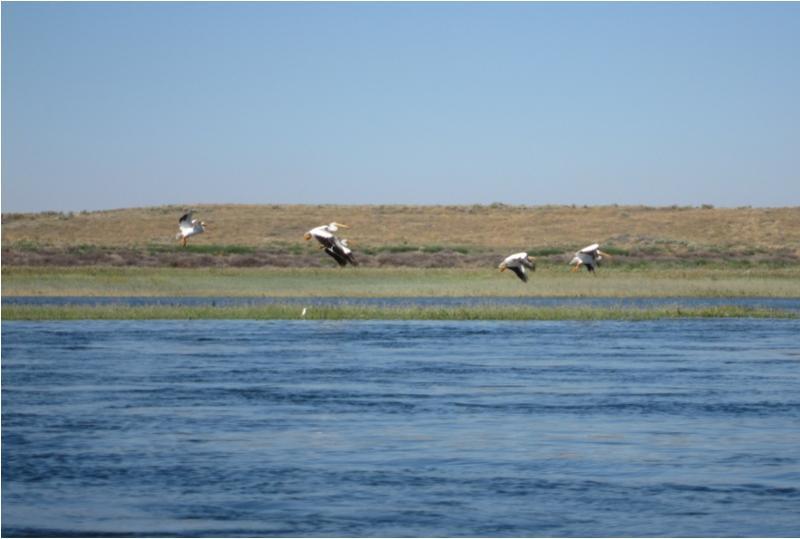 line of pelicans in flight over river