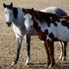 aging horse