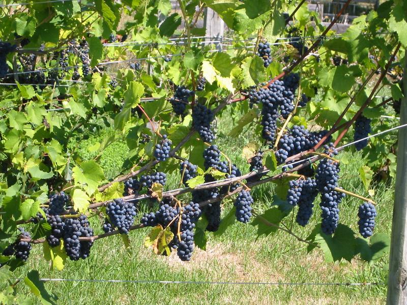 Alfalfa Farm Winerys grapes