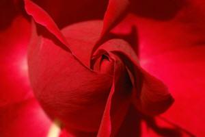 red rose top