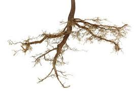 bareroot tree roots