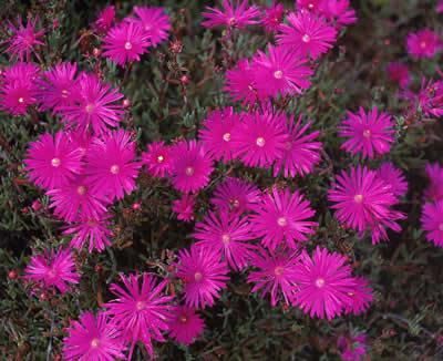 frilly-purple-flowers.jpg