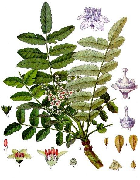 boswellia/frankincense
