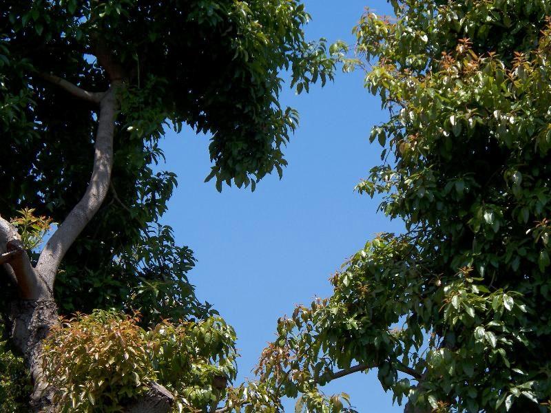 heart of the avocado tree