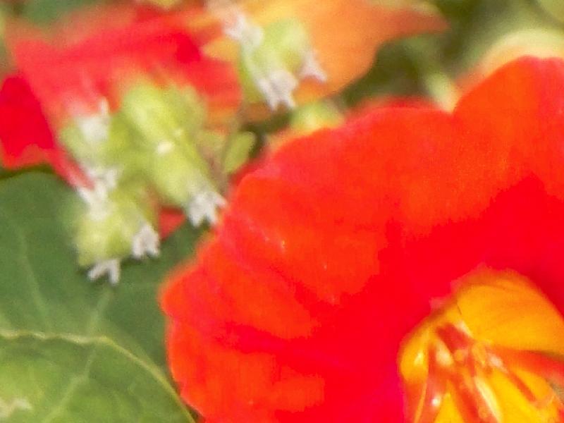 nasturtium and oregano flowers