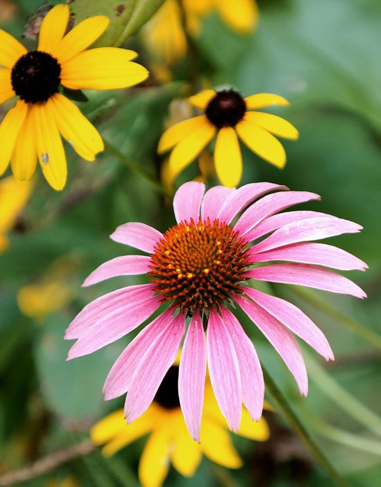 Tennessee Cone Flower