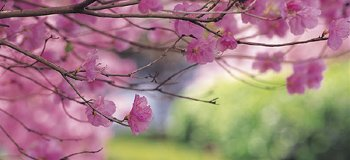 Cherry Blossum Closeup